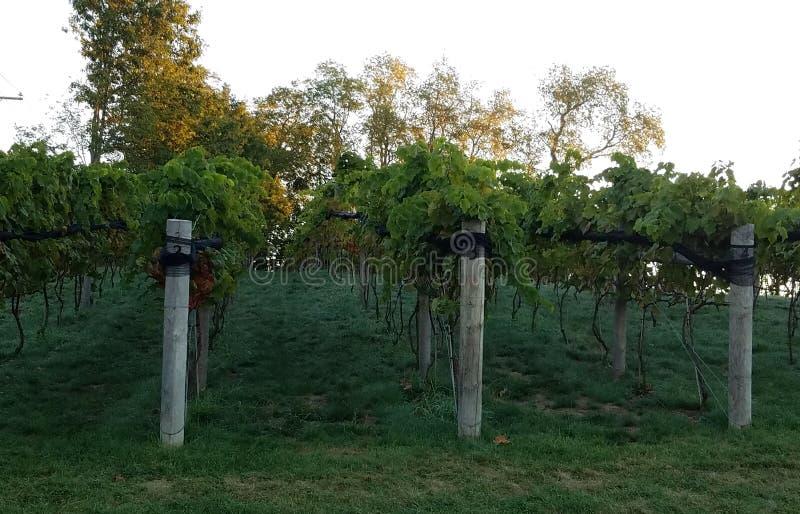 Vigne e vigne di nordest fotografia stock