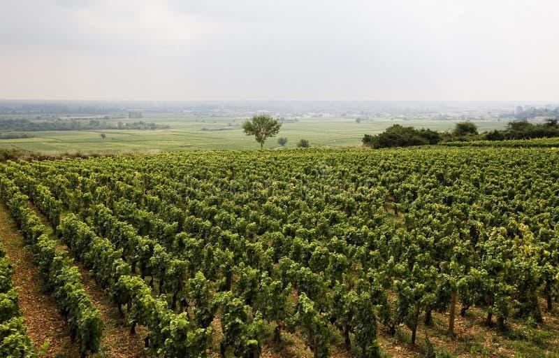 Vigne en Bourgogne photographie stock libre de droits