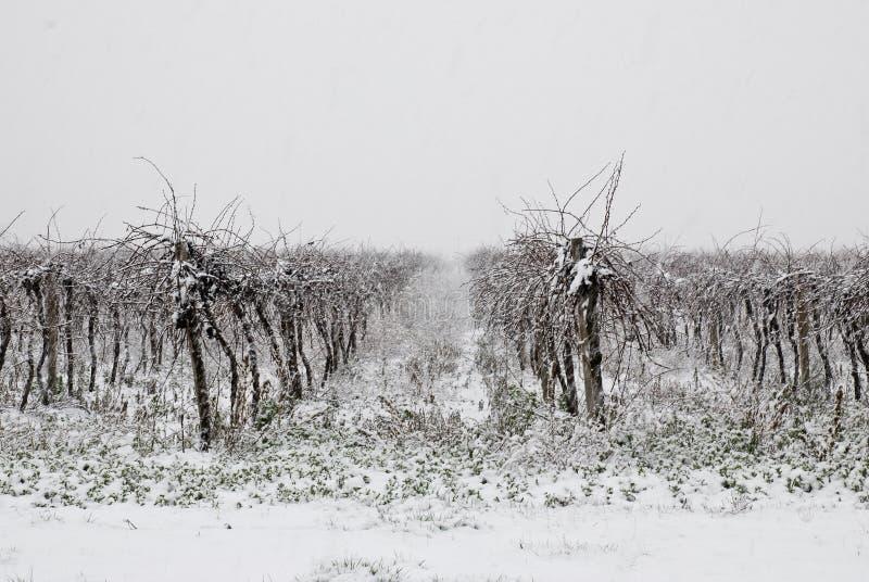 Vigne en coverd de l'hiver par la neige images stock