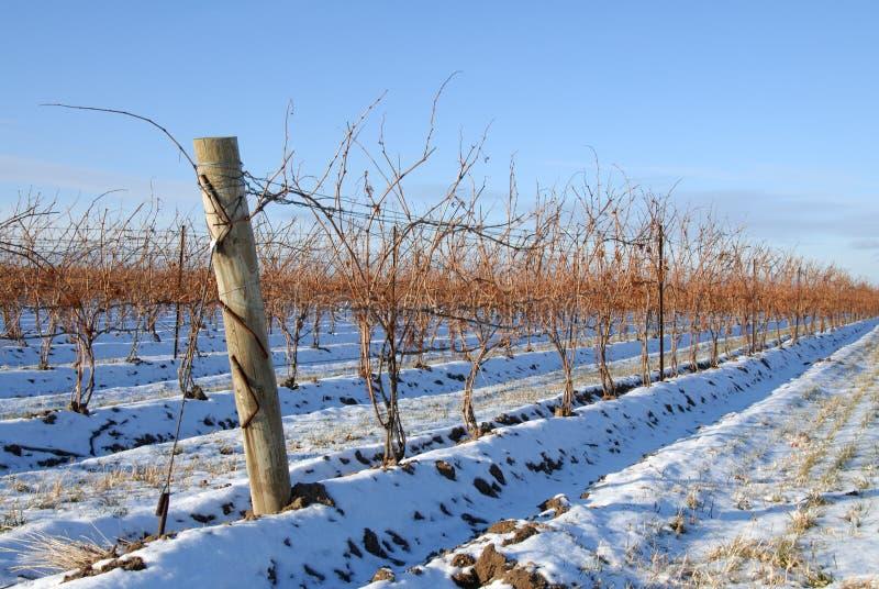 Vigne en hiver photographie stock libre de droits