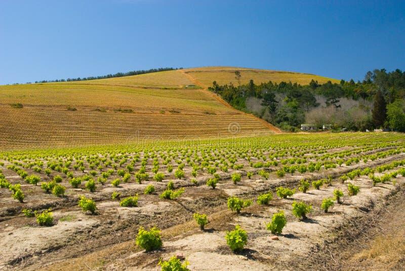 Vigne et côtes de Kanonkop photographie stock libre de droits