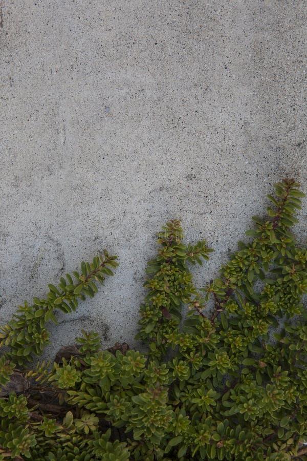 Vigne feuillue s'élevant sur Gray Cement Wall photographie stock