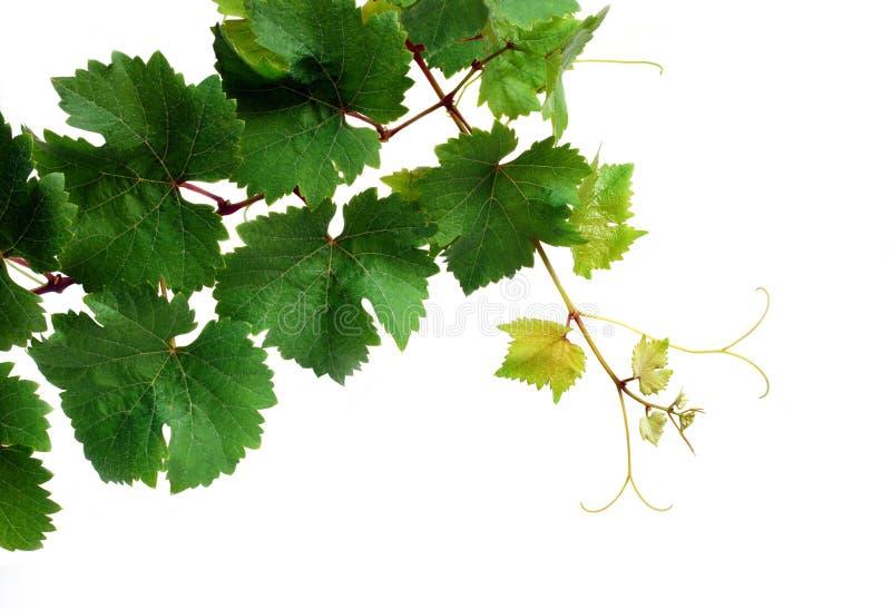 vigne fraîche images libres de droits