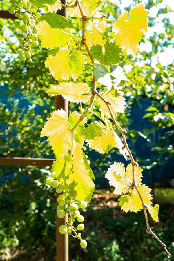 vigne illuminateted par le soleil dans le vignoble photo stock
