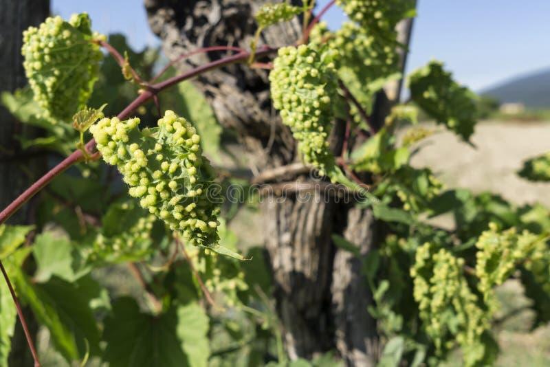 Vigne infectée par le parasite de phylloxéra dans le vignoble photos stock