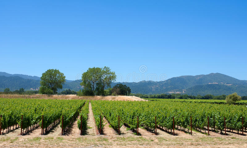 Vigne, Napa Valley images libres de droits