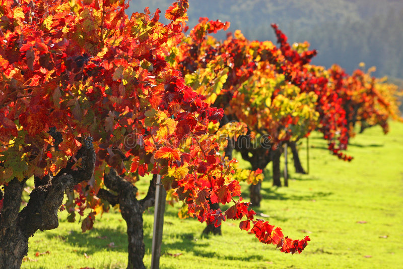 Vigne/Napa Valley d'automne image stock
