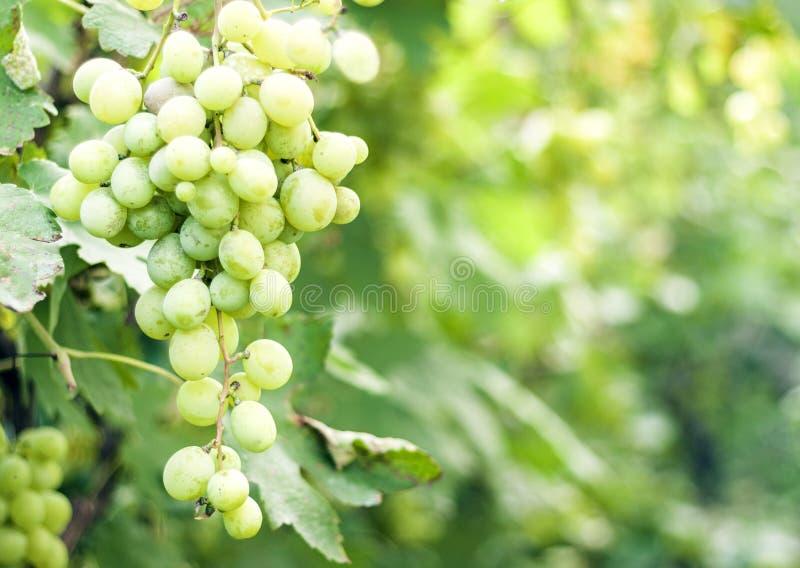 Vigne nel raccolto di autunno, uva verde matura fotografia stock