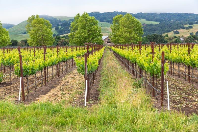 Vigne nel verde fertile delle colline immagini stock libere da diritti