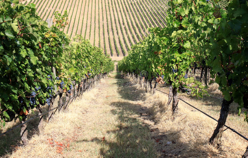 Vigne près de Badia di Passignano, Toscane, Italie image stock