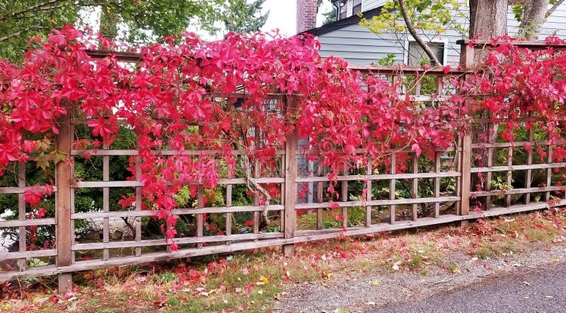 Vigne rouge vibrante photographie stock libre de droits