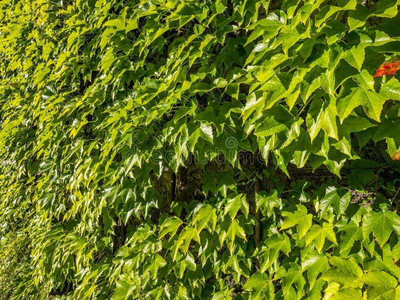 Vigne sauvage, plante grimpante japonaise, lierre de Boston, tricuspi de Parthenocissus photo libre de droits