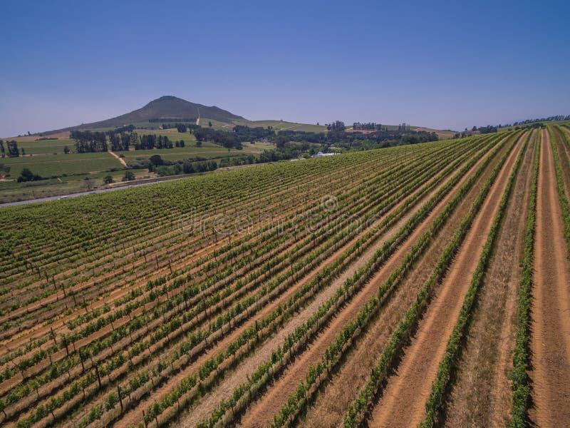 Vigne sudafricane fotografie stock