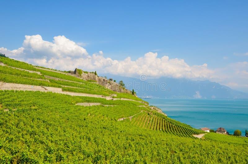 Vigne a terrazze magnifiche in villaggio pittoresco Rivaz nella regione del vino di Lavaux, Svizzera Vigna verde sui pendii da Gi fotografia stock libera da diritti