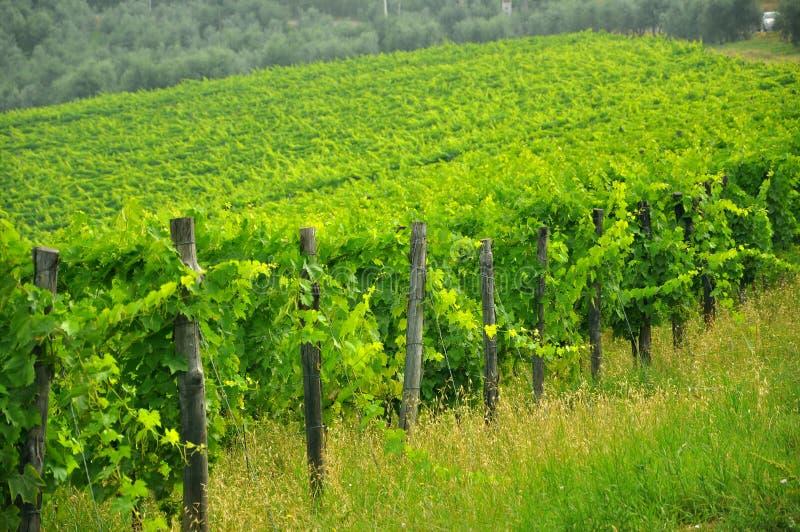 Vigne toscane di Chianti, Italia   fotografia stock libera da diritti