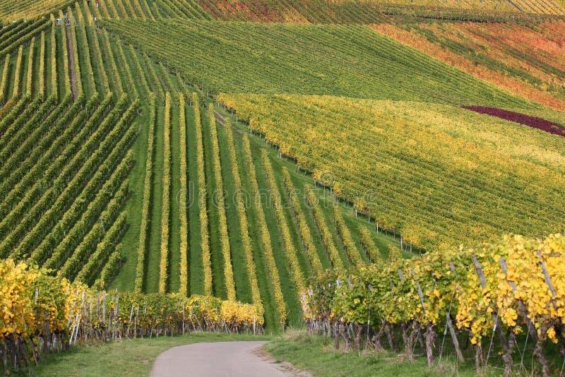 Vigne variopinte durante il raccolto degli acini d'uva immagine stock libera da diritti