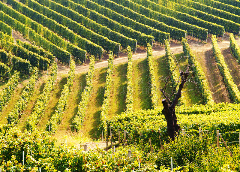 Vigne verdi immagine stock