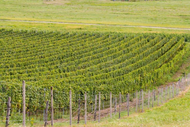 Vigne verdi di estate fotografia stock