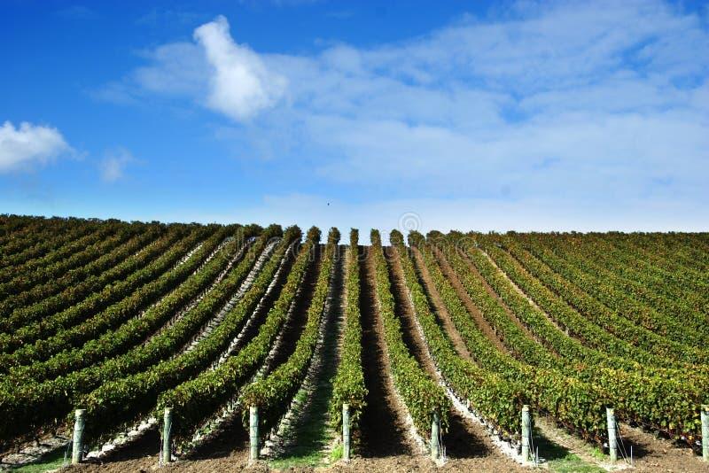 Vignes à l'établissement vinicole images libres de droits