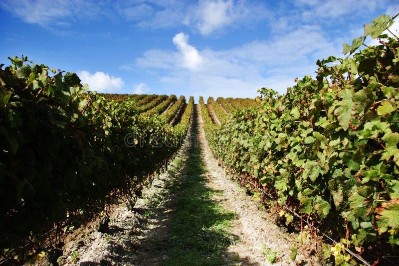 Vignes à une vigne photographie stock libre de droits