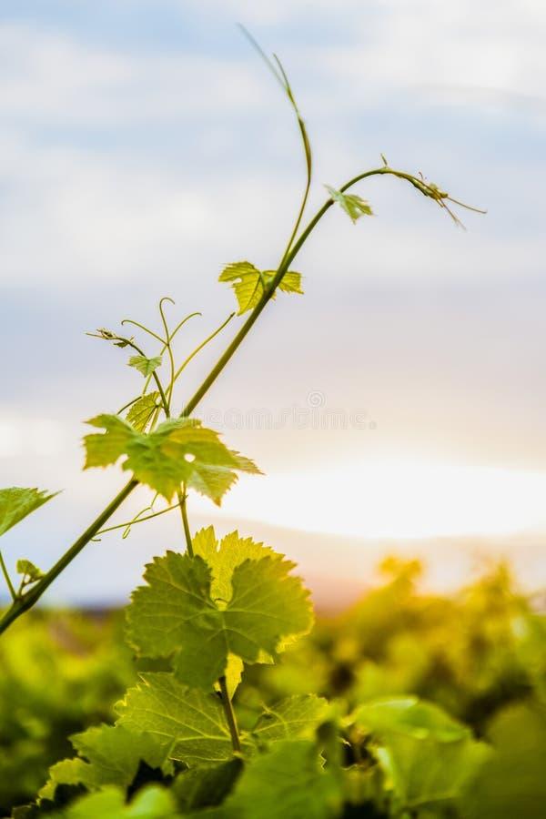 Vignes photographie stock