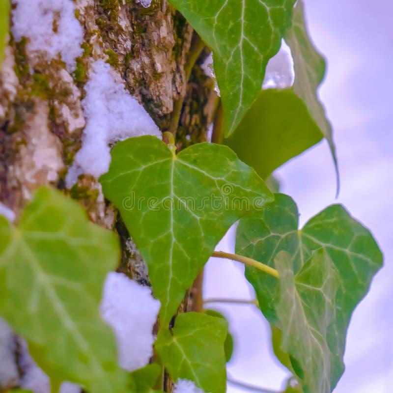 Vignes carrées claires avec les feuilles en forme de coeur s'élevant sur un arbre avec la neige en hiver photographie stock libre de droits