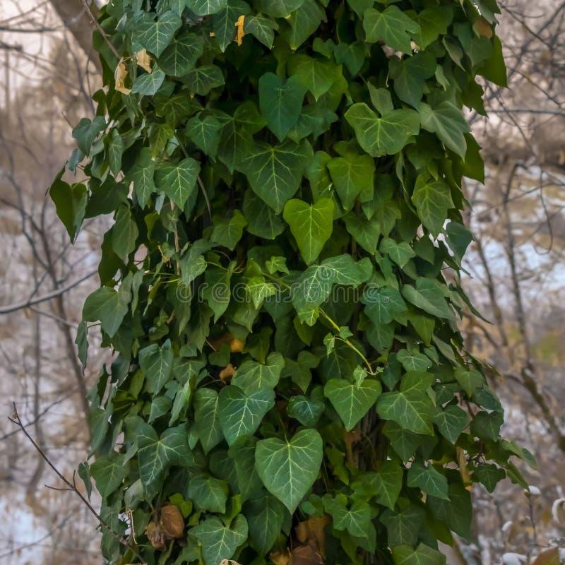 Vignes carrées claires de vert d'ivrogne avec les feuilles en forme de coeur couvrant le tronc d'un arbre forestier image stock