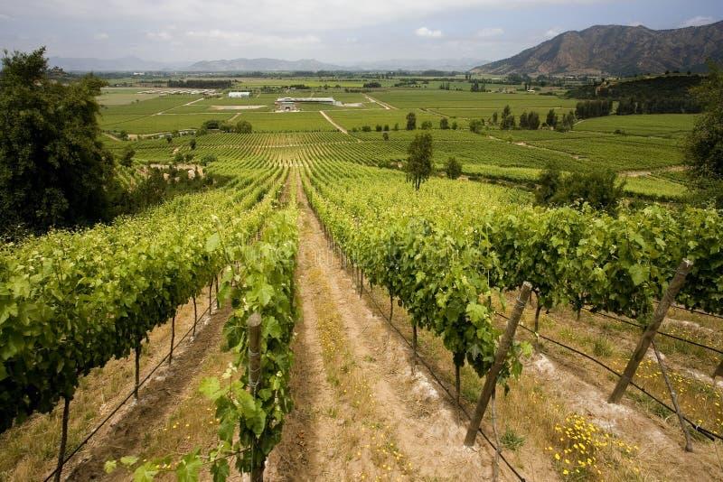 Vignes - Chili photos libres de droits