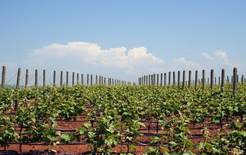 Vignes croissantes photos stock