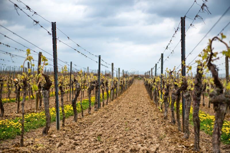 Vignes d'une manière ordonnée trellised de ressort dans un vignoble photographie stock