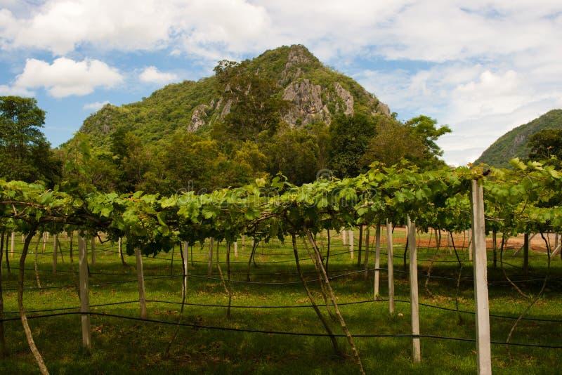 Vignes dans Khao Yai, Thaïlande. image libre de droits