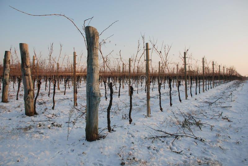 Vignes dans la neige photos libres de droits