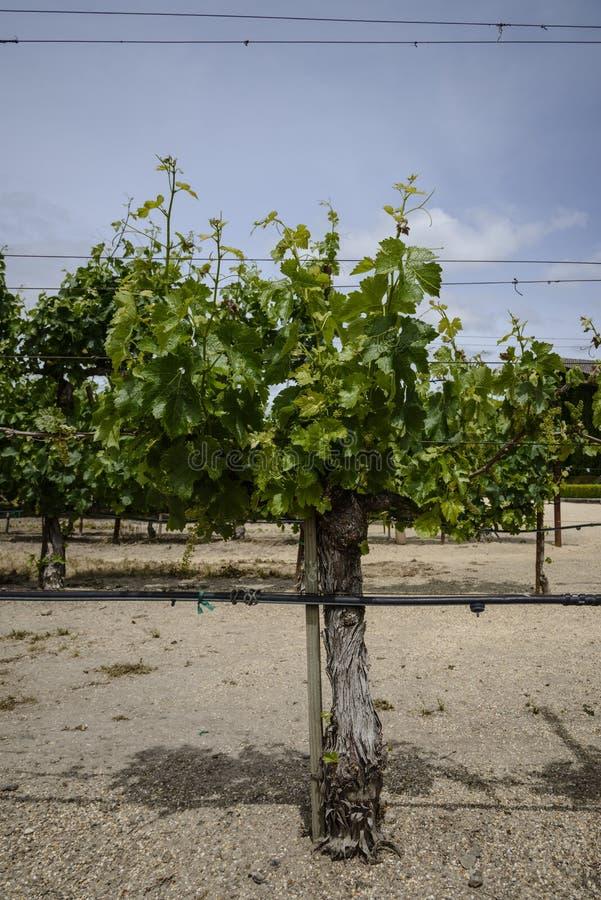 Vignes dans Napa la Californie d'un grand tronc image libre de droits