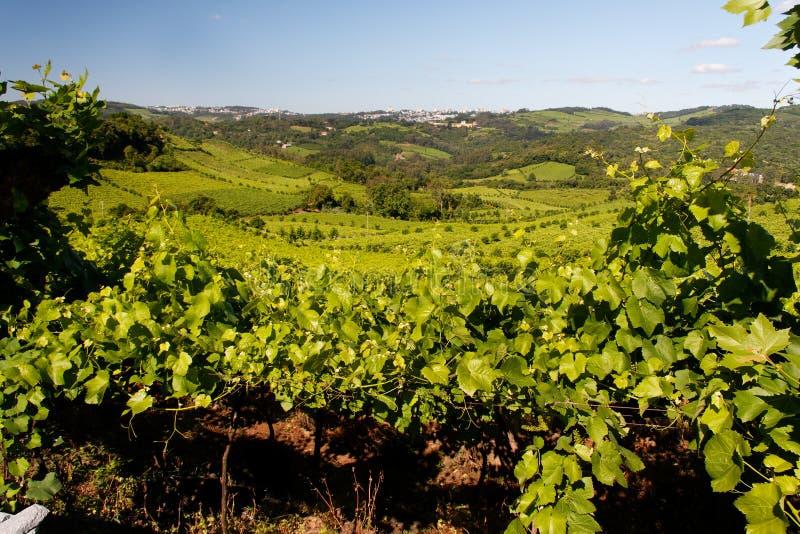 Vignes de Bento Goncalves photo stock