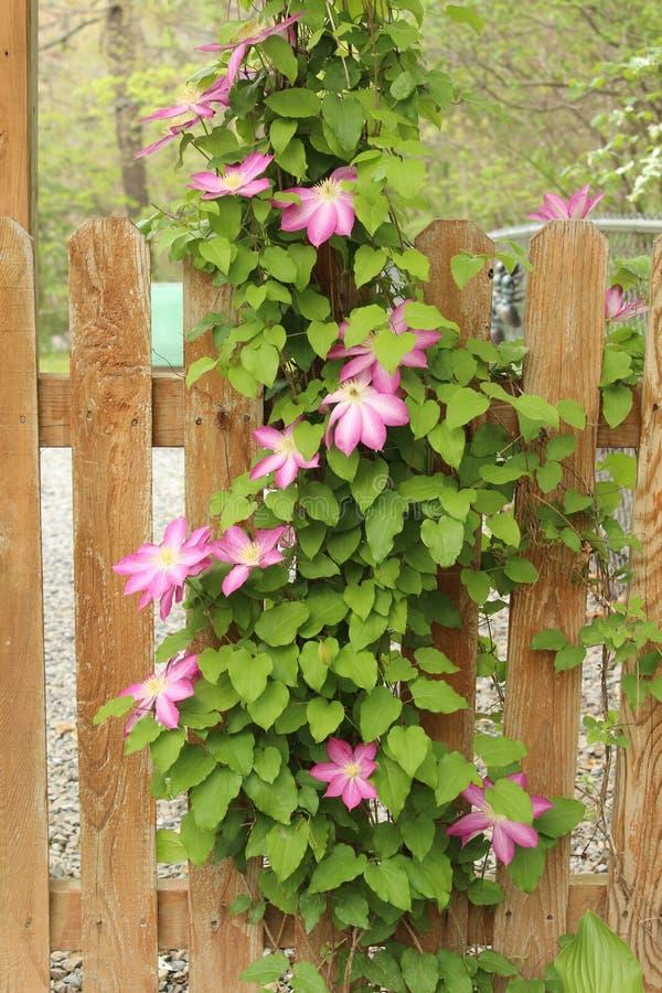 Vignes de Clematis de source complètement de belles fleurs roses photos libres de droits