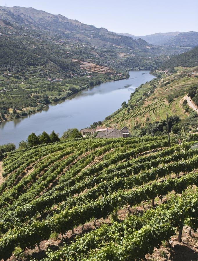Vignes de la vallée de Douro image libre de droits