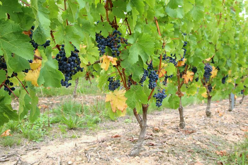Vignes de noir de franc de Cabernet image stock
