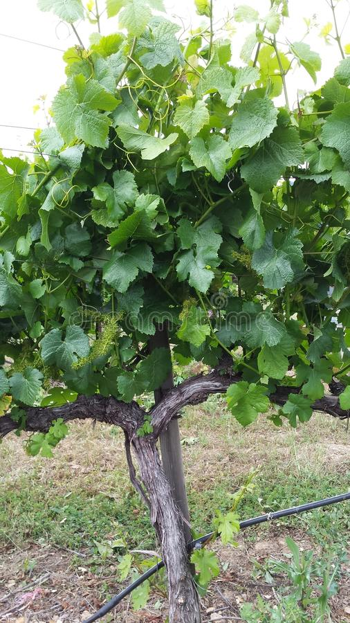 Vignes de vin photo libre de droits