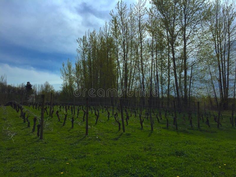 Vignes dormantes photographie stock libre de droits
