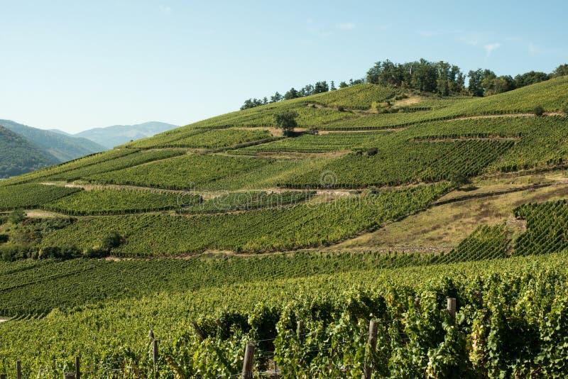 Vignes en Alsace photographie stock