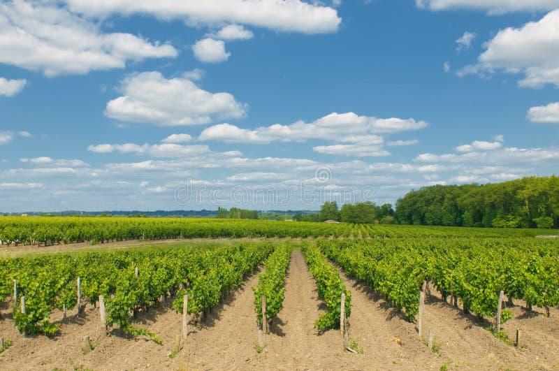 Vignes en Bordeaux photographie stock