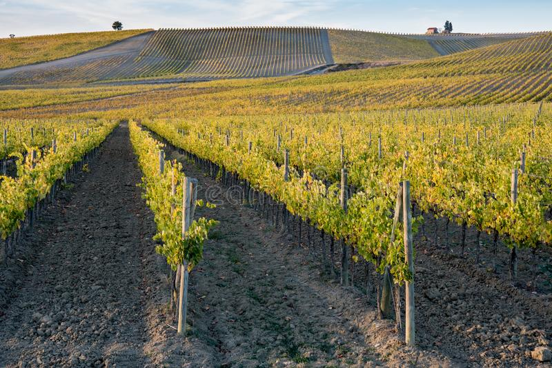 Vignes en Toscane photos libres de droits