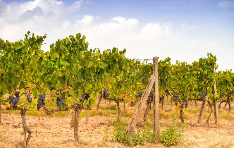 Vignes en Toscane images libres de droits