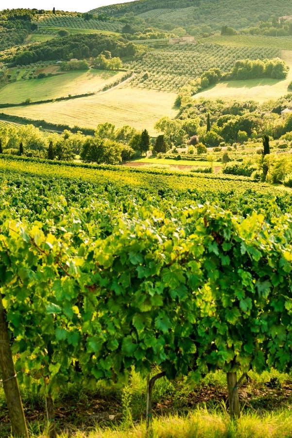 Vignes en Toscane photos stock