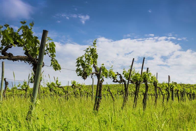 Vignes en Toscane l'Italie images libres de droits