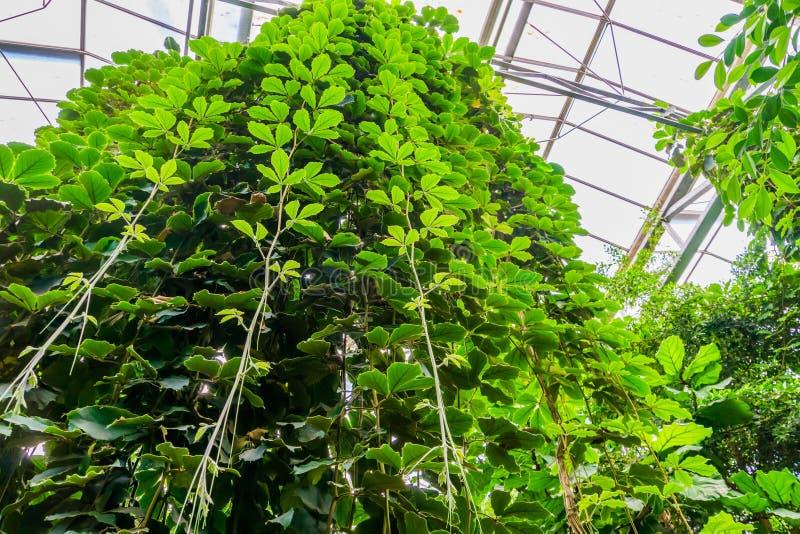 Vignes géantes accrochées à une serre, espèces végétales cultivées tropicales, horticulture et nature photo stock