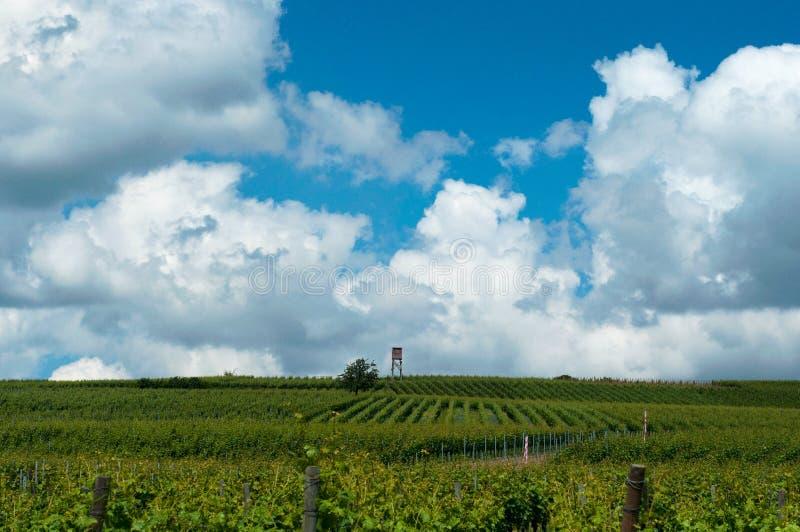 Vignes grandissantes sous les cieux bleus Paysage avec le vignoble et le beau ciel avec les nuages blancs photos stock