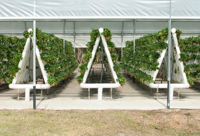 Vignes hydroponique cultivées de fraise photos libres de droits