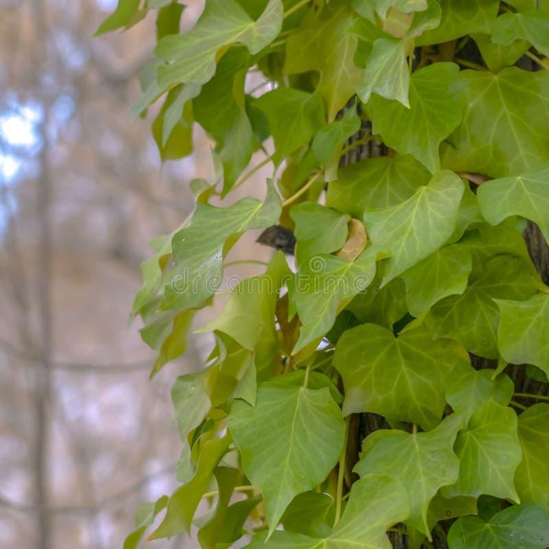 Vignes luxuriantes carrées claires s'élevant sur le tronc brun d'un arbre dans la forêt ensoleillée image libre de droits