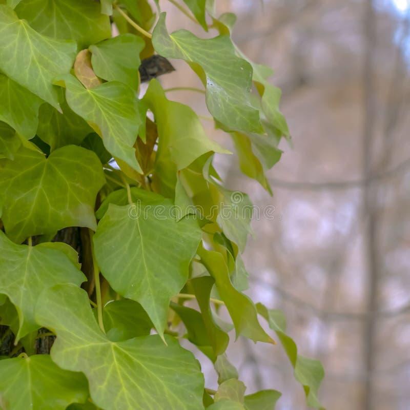 Vignes luxuriantes carrées s'élevant sur le tronc brun d'un arbre dans la forêt ensoleillée photos stock